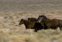 wild horses 35 - stock footage