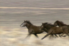 Wild horses 37 Stock Footage