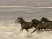Stock Video Footage of wild horses 37