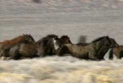 wild horses 38 - stock footage