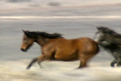 Wild horses 39 Stock Footage