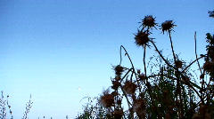 Milk thistle 3 Stock Footage