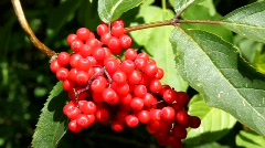 Red berry Stock Footage