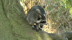 Stock Video Footage of Raccoon Watches