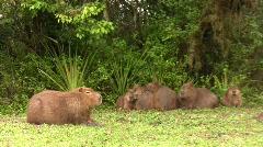 Capybaras, 2 clips Stock Footage