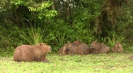 Stock Video Footage of Capybaras, 2 clips