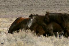 Wild horses 14 Stock Footage