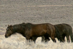 Wild horses 16 Stock Footage