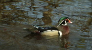 Wood Duck Swims Around Stock Footage