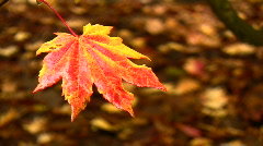 Rain falling on a fiery Autumn leaf. HD 1080i Stock Footage