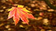 Rain falling on a fiery Autumn leaf. HD 1080i Stock Footage