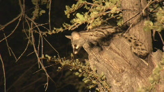 South Africa Jeep Safari 09 Spotted Genet Cat Stock Footage