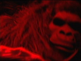 Scary Gorilla 121 Stock Footage