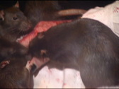 Stock Video Footage of Rats Chew Bloody Hand 123