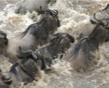 Wldebeests crossing mara river, close up. Stock Footage