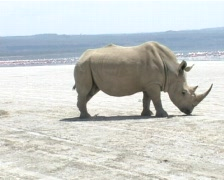 Rhino on the shores of a lake Stock Footage