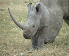 Stock Video Footage of -A white rhino with a baby..close up