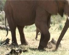 -An elephant digging grass, which is too short for her trunk Stock Footage
