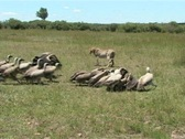 Stock Video Footage of -Cheetah hunting,   leaves a kill.