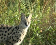 Serval cat  Stock Footage
