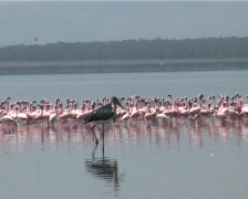 Flamingos and marabou stork Stock Footage