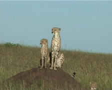 Cheetah mother with a cub on an anthill - stock footage