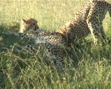 Cheetah mother playing with cubs Stock Footage