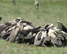 -vultures invade the left overs. Stock Footage