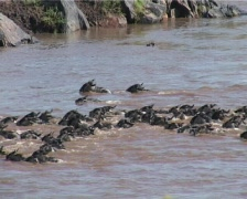 Wildebeests swimming in a deep end of a river Stock Footage