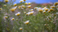 Daisy - stock footage