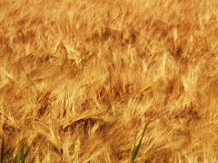 Fields of Gold 1 Stock Footage