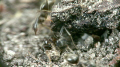 Ants close-up II. Stock Footage