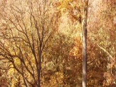 Golden Trees Nature Stock Footage