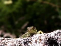 Lizard Wink Stock Footage