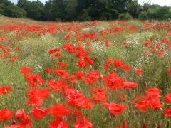 Red Flowers - stock footage