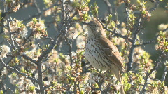 P00317 Brown Thrasher Singing Stock Footage