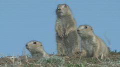 P00319 Three Young Prairie Dogs on Ridge Stock Footage