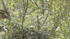 P00323 Red-tailed Hawk at Nest Stock Footage