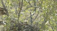Stock Video Footage of P00323 Red-tailed Hawk at Nest