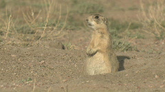 P00325 White-tailed Prairie Dog Chattering Stock Footage