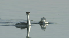 P00326 Western Grebe Courtship Stock Footage