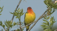 Stock Video Footage of P00328 Western Tanager