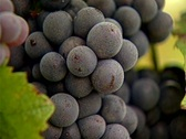 HW grapes on the vine 03 Stock Footage