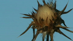 Milk thistle Stock Footage