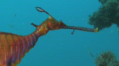 Seadragon HD Stock Footage