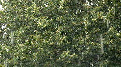 Lime-tree leaves in heavy rain Stock Footage