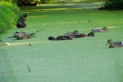 ducks eating algae 01 - stock footage