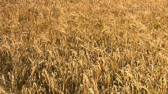 Crop of barley growing in a farm field in Northamptonshire England Stock Footage
