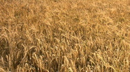 Stock Video Footage of Crop of barley growing in a farm field in Northamptonshire England