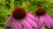 Stock Video Footage of Echinacea (Coneflower) flower and bees 1